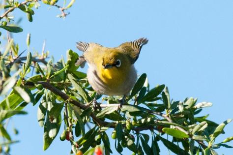 Cape White-Eye, Camdeboo NP