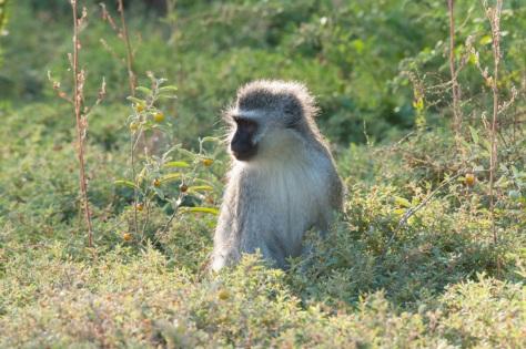 Vervet Monkey, Camdeboo NP