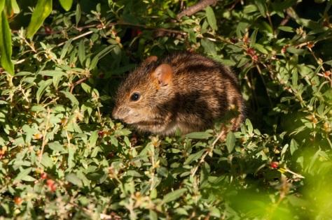 Striped Mouse (Rhabdomys pumilio), Camdeboo NP