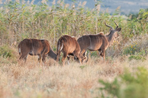 Kudu, Camdeboo NP