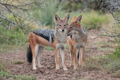 Black-backed Jackal, Camdeboo NP
