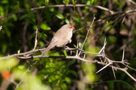 Common Waxbill, Camdeboo NP