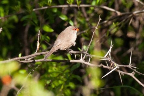 Common Waxbill, Camdeboo NP