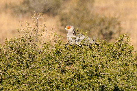 Secretarybird perched in tree, Mountain Zebra NP