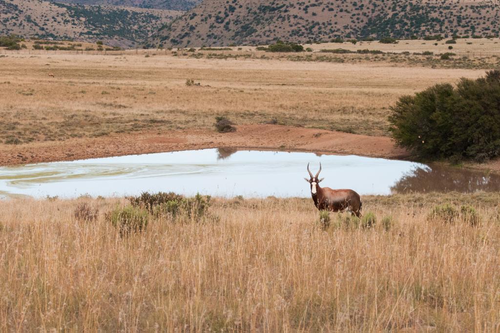 View across the grassland with Bontebok