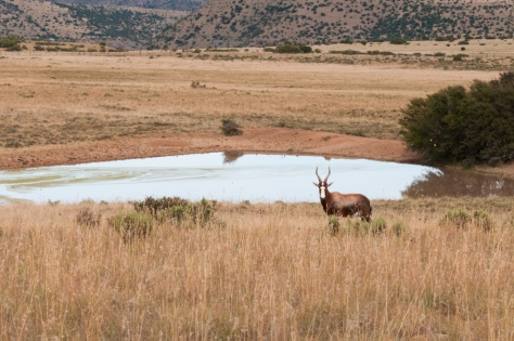 View across the grassland with Bontebok
