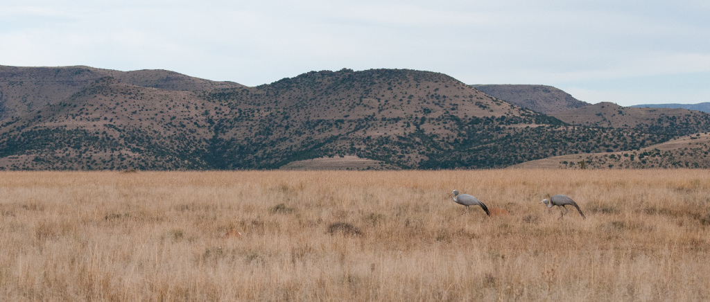 Blue Cranes at home in the grass, Mountain Zebra NP