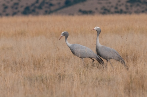 Blue Crane, Mountain Zebra NP