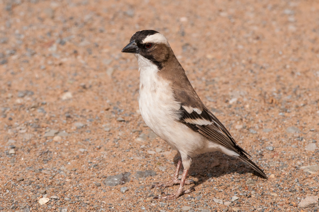 White-browed Sparrow-Weavers are plentiful