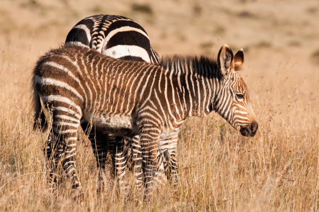 Mountain Zebra foal (aaaaaaaah)