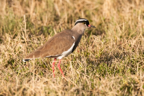 Crowned Lapwing, Mountain Zebra NP