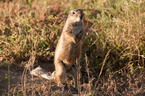 Ground Squirrel (Xerus inauris), Mountain Zebra NP