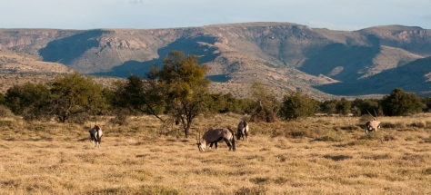 Gemsbok, Mountain Zebra NP