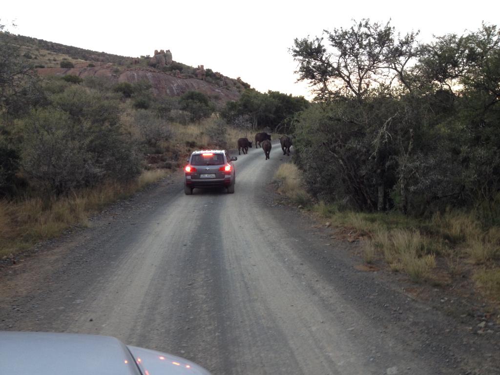 African Buffalo traffic jam