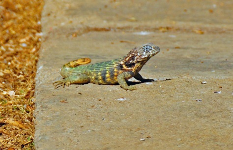 They call this the 'Puppy Dog Lizard' due to its curly tail