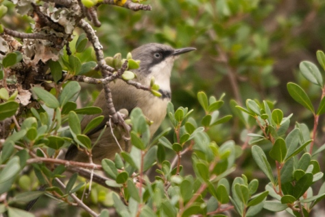 Bar-throated Apalis, Addo NP