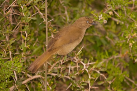 Sombre Greenbul, Addo NP