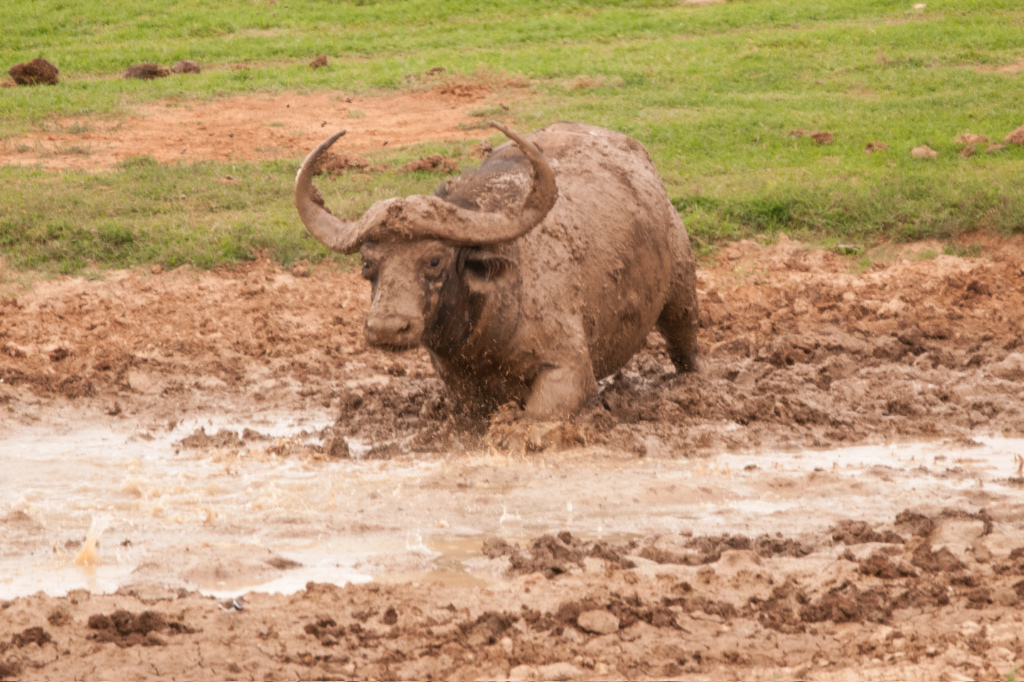 Buffalo getting the spa treatment (on our previous trip)