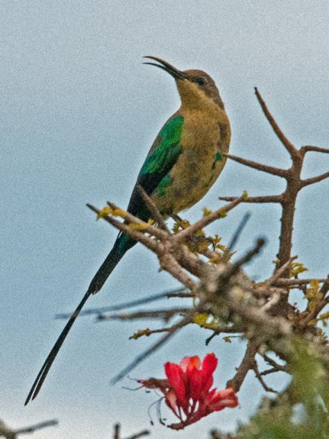 Malachite Sunbird, Addo NP