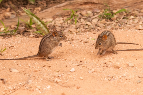 Striped Mouse (Rhabdomys pumilio), Addo NP