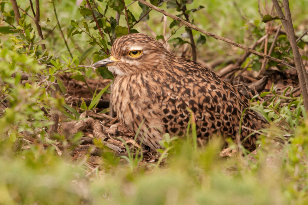Spotted Thick-Knee (Dikkop), Addo NP