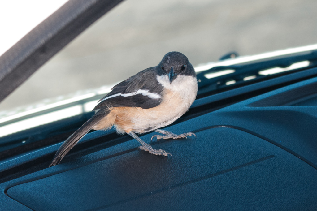 Southern Boubou - took a liking to our rental car (on our previous trip)