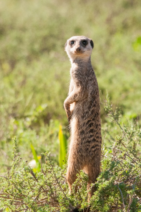 Suricate / Meerkat (Suricata suricatta), Addo NP