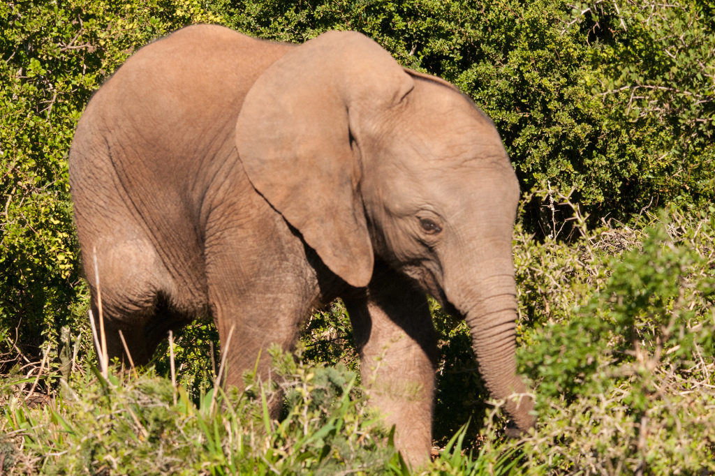 African Elephant, Addo NP