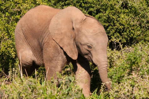 African Elephant, Addo NP