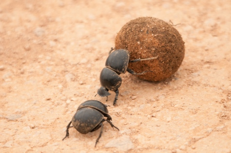 Flightless Dung-Beetle with 'Supervisor'