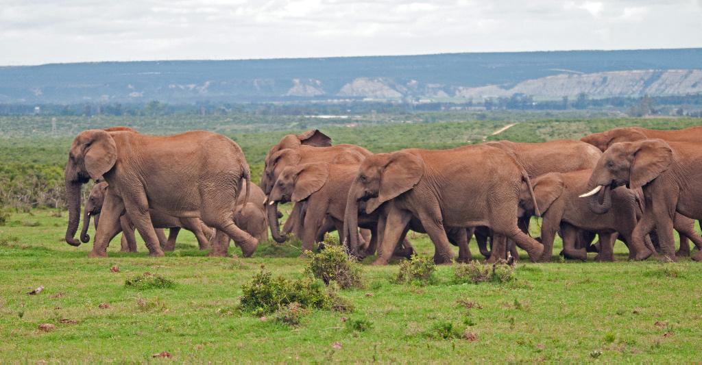 Elephant, Addo NP