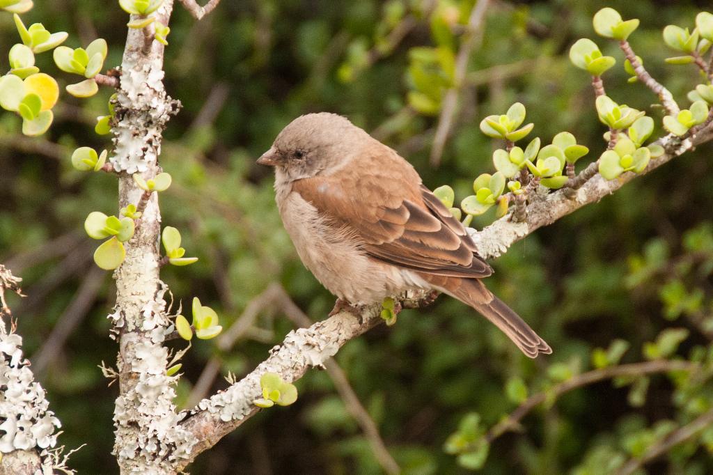 Grey-headed Sparrow, Addo NP