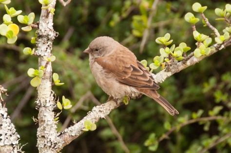 Grey-headed Sparrow, Addo NP