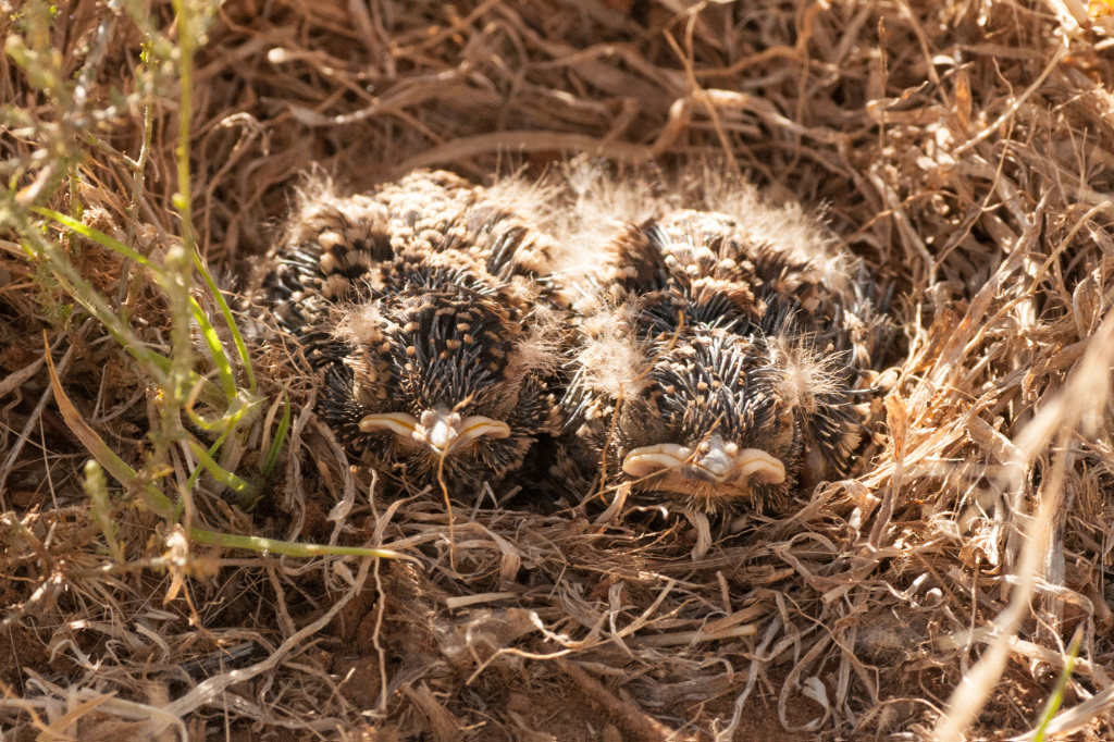 Very young Spike-heeled Larks on the nest