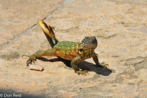 """The well-named """"Puppy-dog Lizard"""