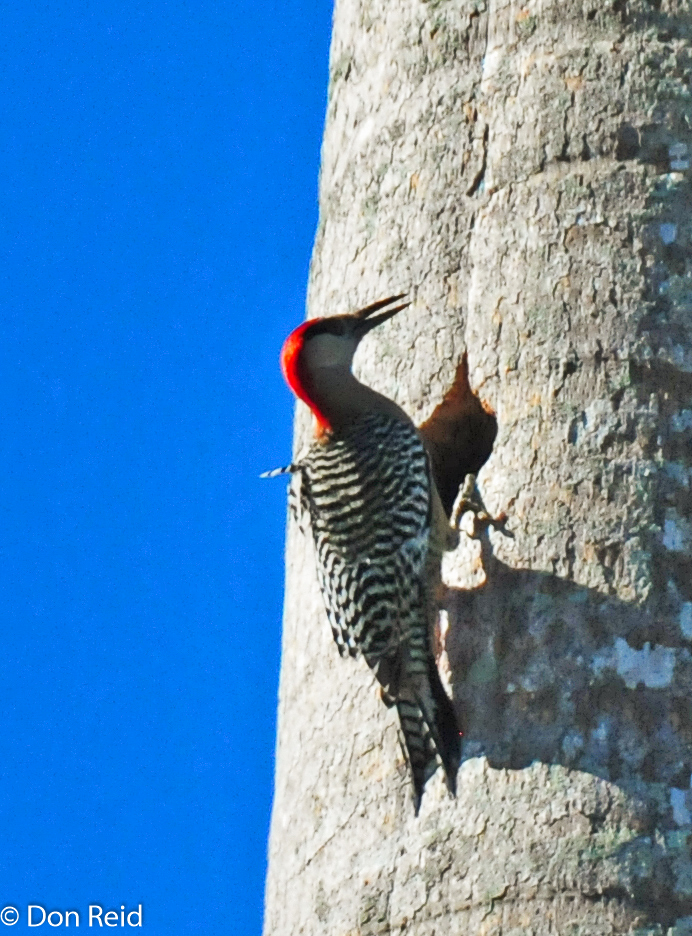West-Indian Woodpecker at a nest-hole