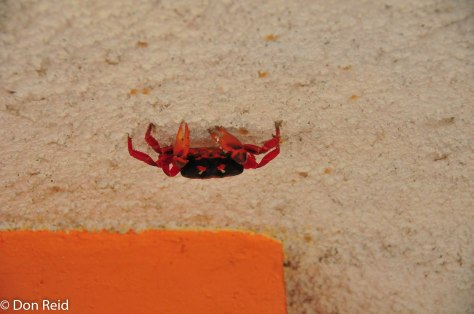 These red crabs migrate to the beaches by the thousand at certain times