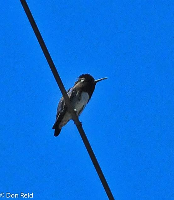 The sensational Bee Hummingbird
