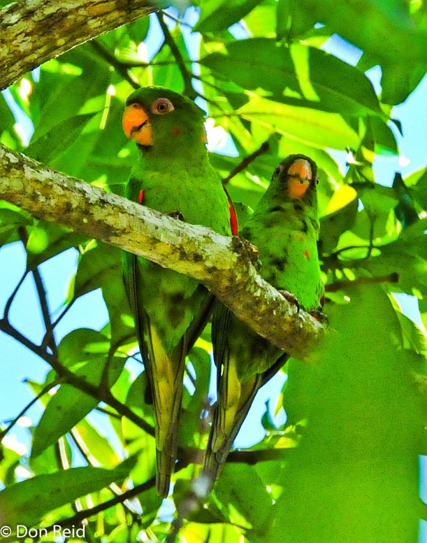 Cuban Parakeet