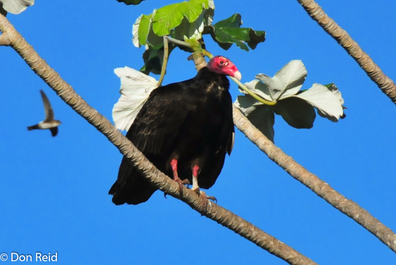 Turkey Vultures are everywhere