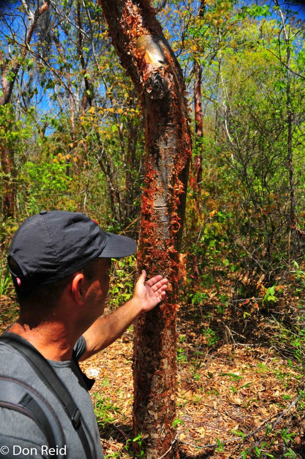 """""""Tourist Skin"""" tree - so called because it peels like the European visitors after a few days in Varadero's sun"""