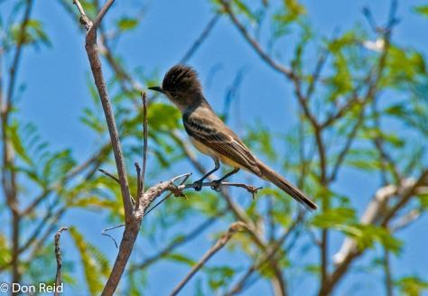 La Sagra's Flycatcher