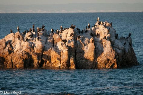 Cormorants occupying rocks offshore