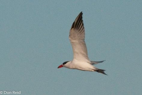 Caspian Tern, Cape Recife