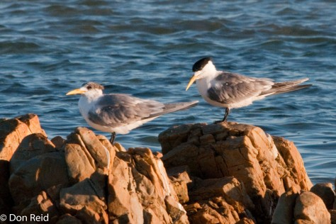 Swift Terns, Cape Recife