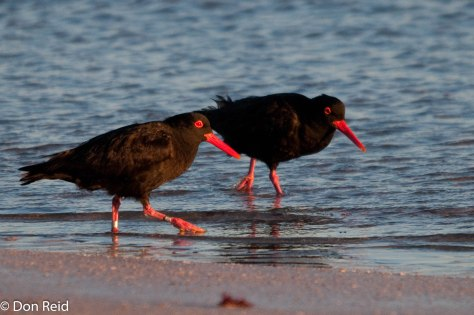 African Black Oystercatchers with ring showing