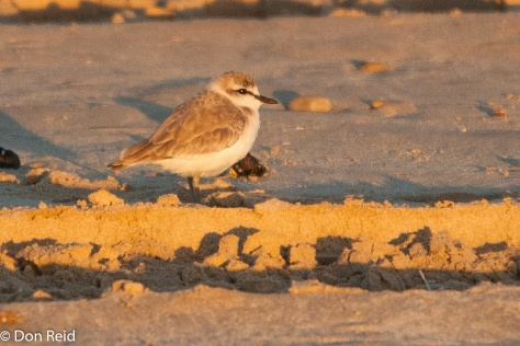 White-fronted Plover, Cape Recife