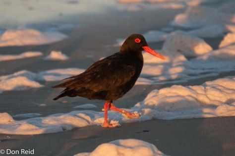 African Black Oystercatcher, Cape Recife