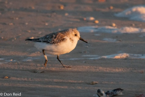 Sanderling, Cape Recife