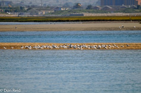 Terns at Swartkops Estuary